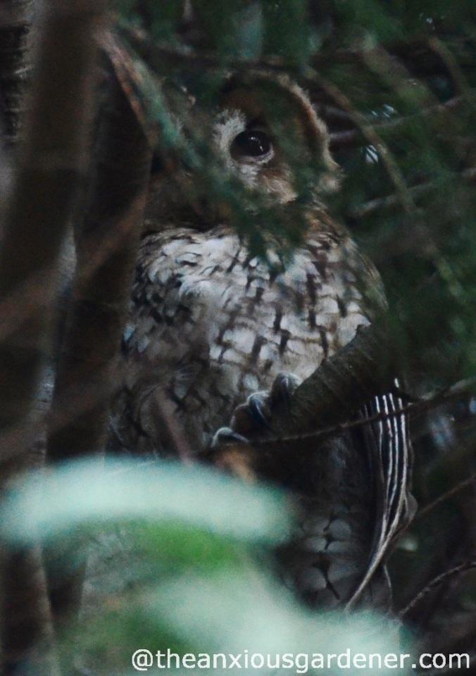 Tawny_Owl_2