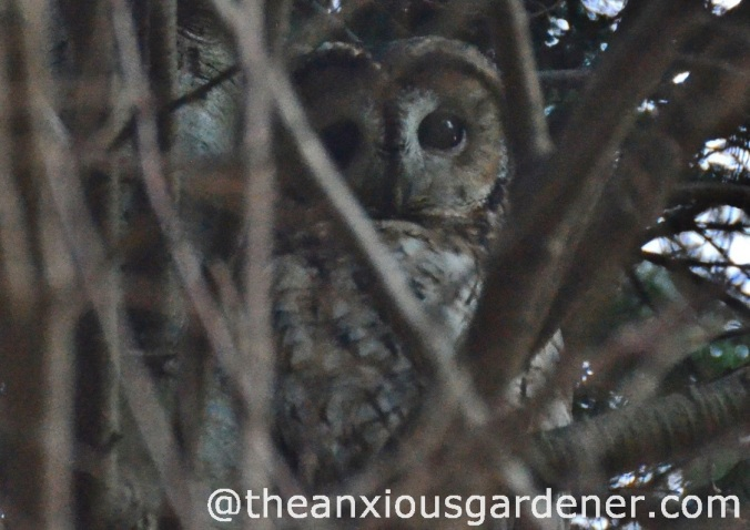 Tawny_Owl_3