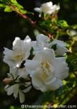 Rosa 'Sander's White Rambler'