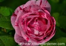 Rosa 'Ferdinand Pichard'