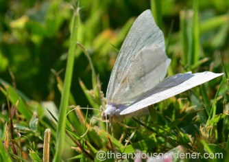 Small White Wave Moth