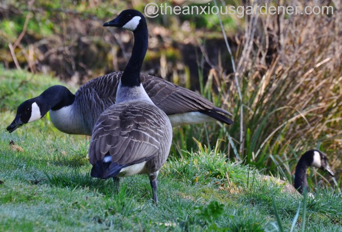 Canada Geese (2)