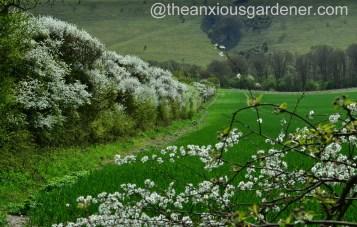 Blackthorn blossom