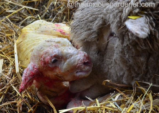 Ewe lambing (14)