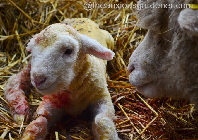 Ewe lambing (19)
