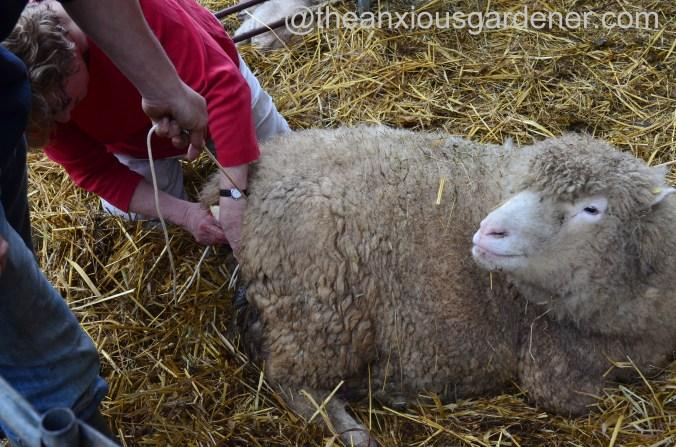 Ewe lambing (2)