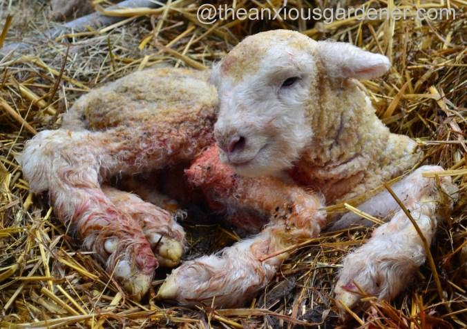 Ewe lambing (21)