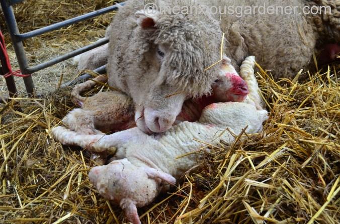 Ewe lambing (32)