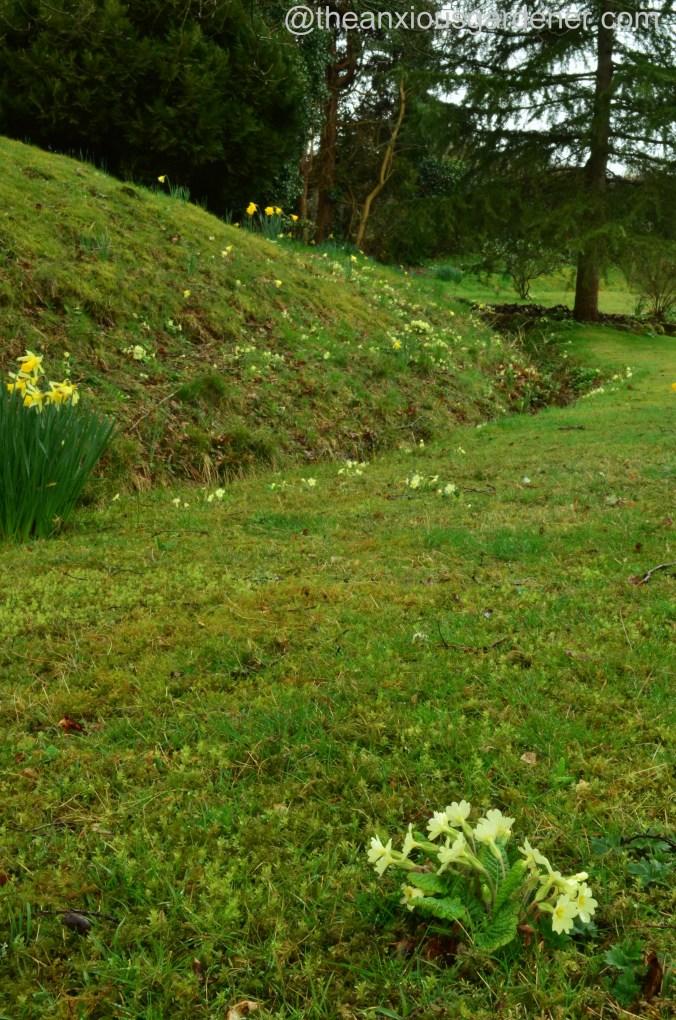 Primroses on lawn