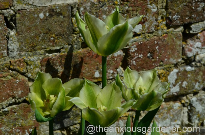 Tulip Spring Green (2)
