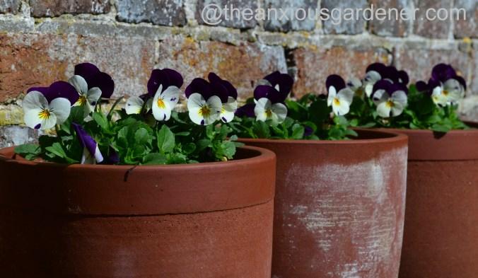 Violas in pots