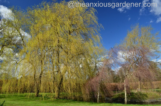 Weeping Willow (3)