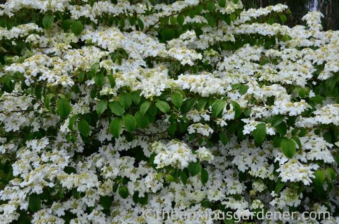 Viburnum plicatum 'Mariesii' (2)