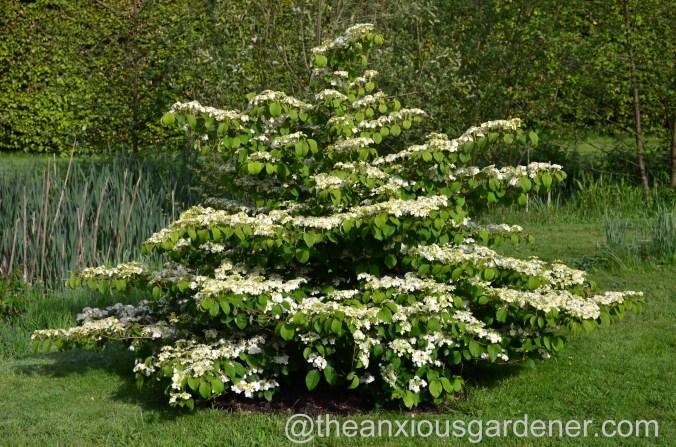 viburnum plicatum mariesii (3)
