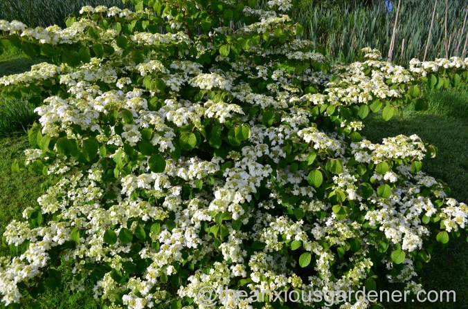 viburnum plicatum mariesii (4)