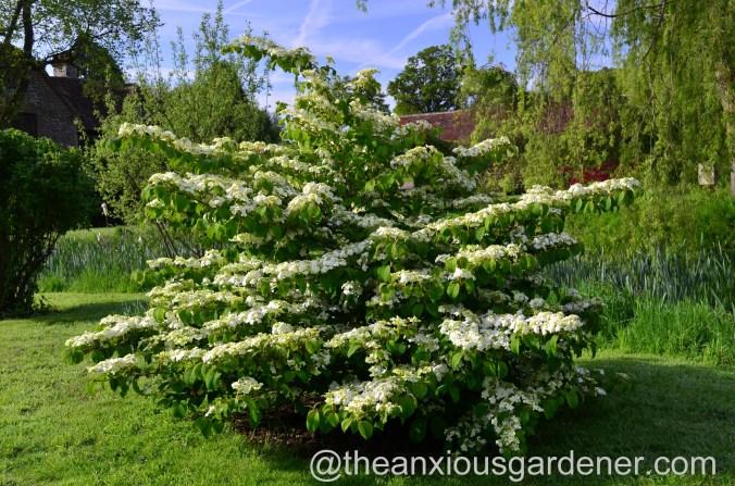 viburnum plicatum mariesii (5)
