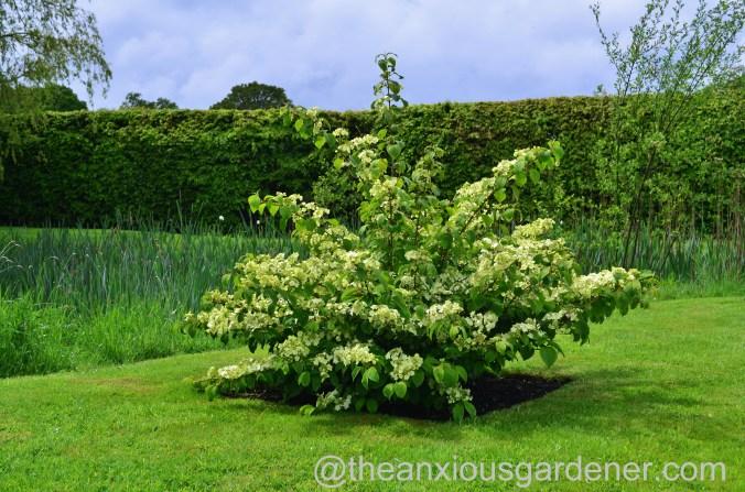 viburnum plicatum mariesii (6)