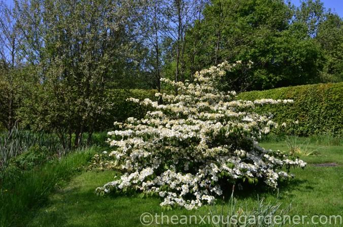 viburnum plicatum mariesii (8)