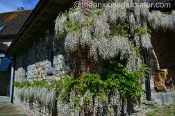 Old Forge Wisteria