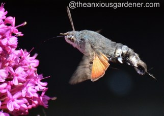 Hummingbird hawk-moth (1)