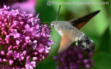 Hummingbird hawk-moth (4)