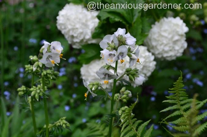 Polemonium caeruleum 'White Pearl'