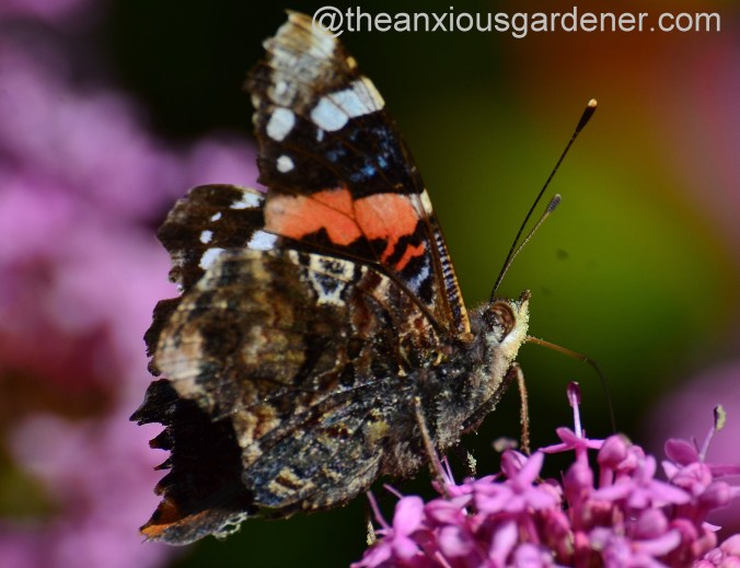 Red admiral butterfly  (2)