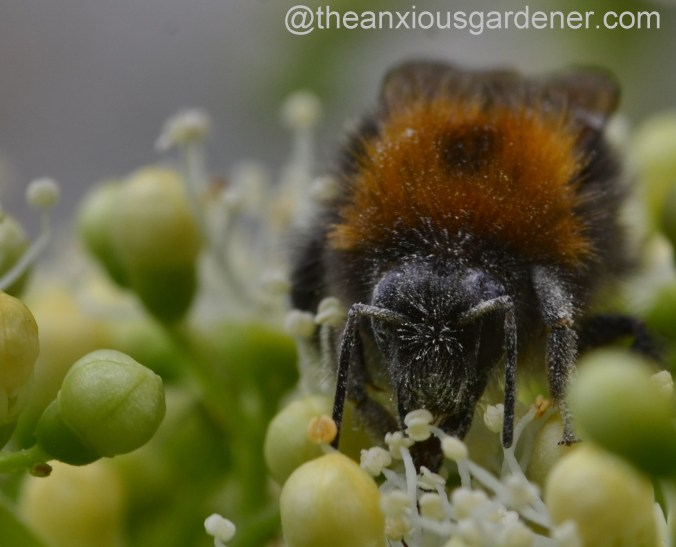 Tree Bumblebee (2)