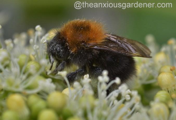Tree Bumblebee (3)