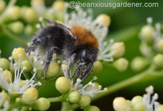 Tree Bumblebee (5)
