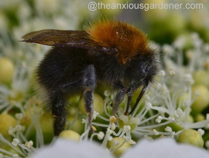 Tree Bumblebee (6)