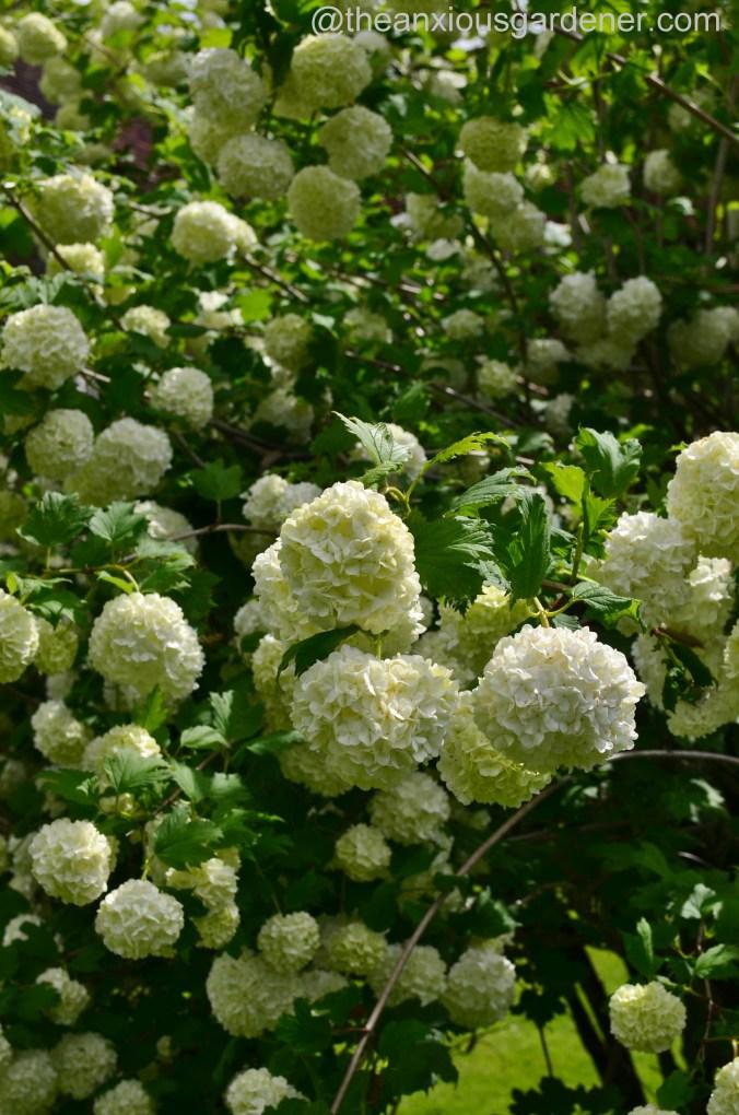 viburnum opulus roseum (2)
