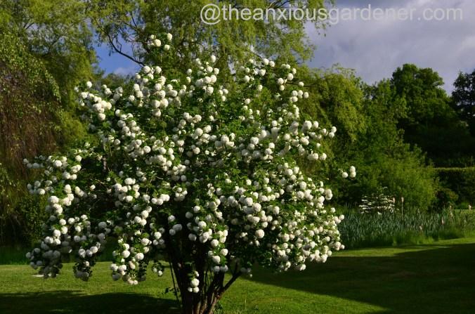 viburnum opulus roseum (3)