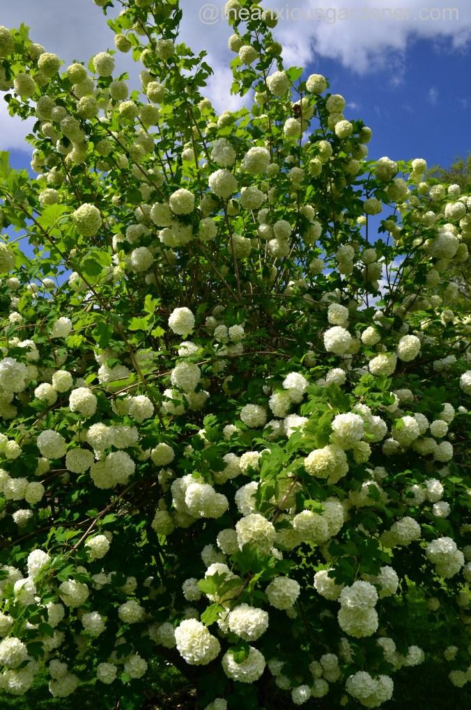 viburnum opulus roseum