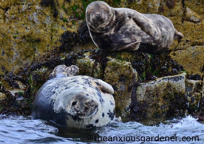 Grey Seal (1)