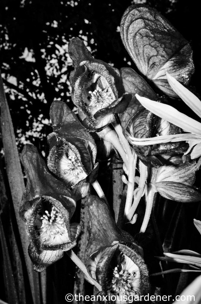 Aconitum napellus (3)