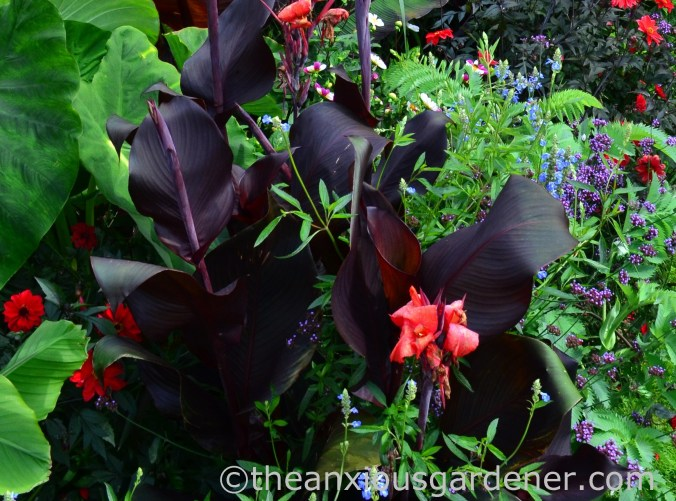 Canna 'Red King Humbert' (2)