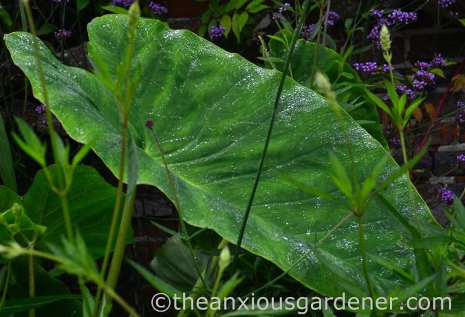 Colocasia esculenta (1)