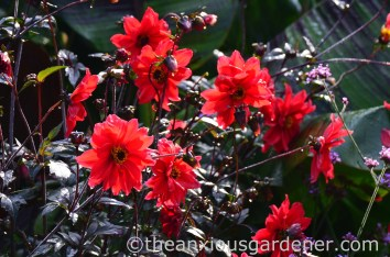 Dahlia 'Bishop of Llandaff' (3)