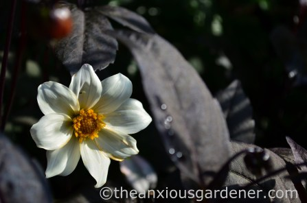 Dahlia 'Twyning's After Eight' (1)