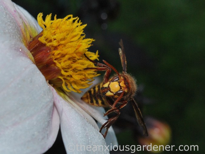Hornet (1)