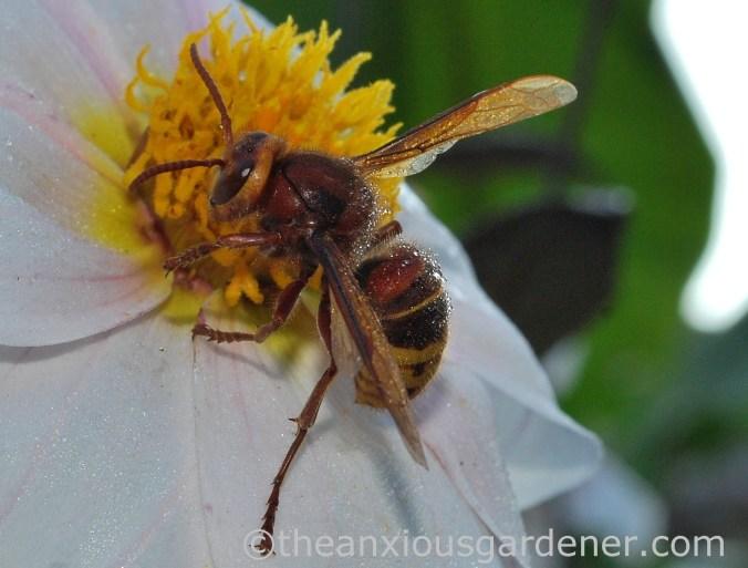 Hornet (3)