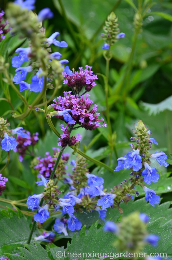 Salvia uliginosa (2)