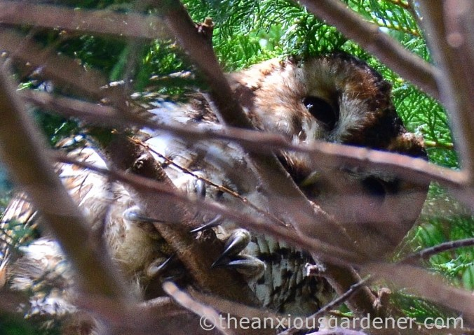 Tawny Owl (3)