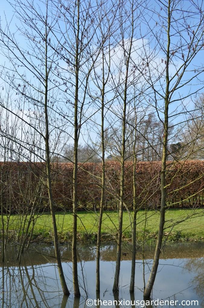 Alder trees (2)