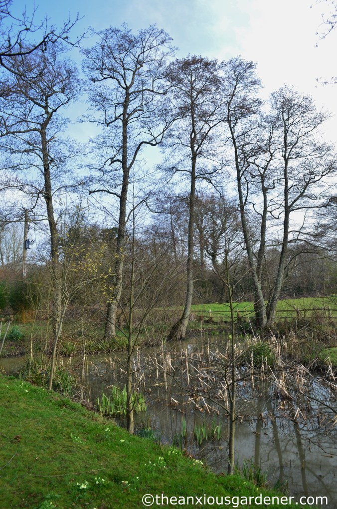 Alder trees 2