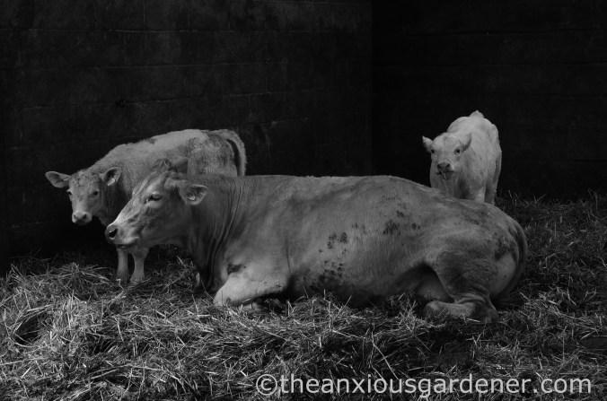 Calves (1)