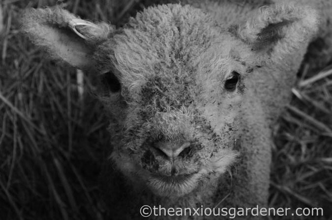 New Born Lambs (2)