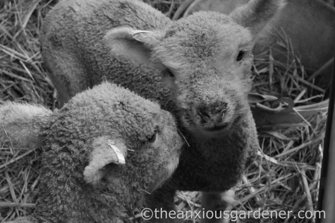 New Born Lambs (3)