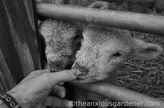 New Born Lambs (4)